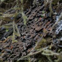 Encrusting Lichen (Potopannaria sp)