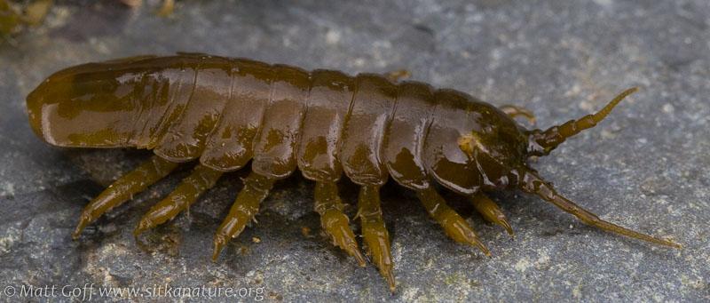 Rockweed Isopod (Pentidotea wosnesenskii)