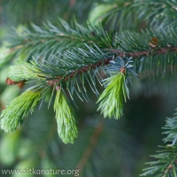Spruce Tips (Picea sitchensis)