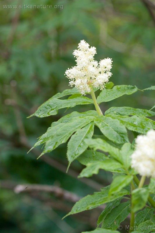 Flowers of Red Elderberry (Sambucus racemosa)