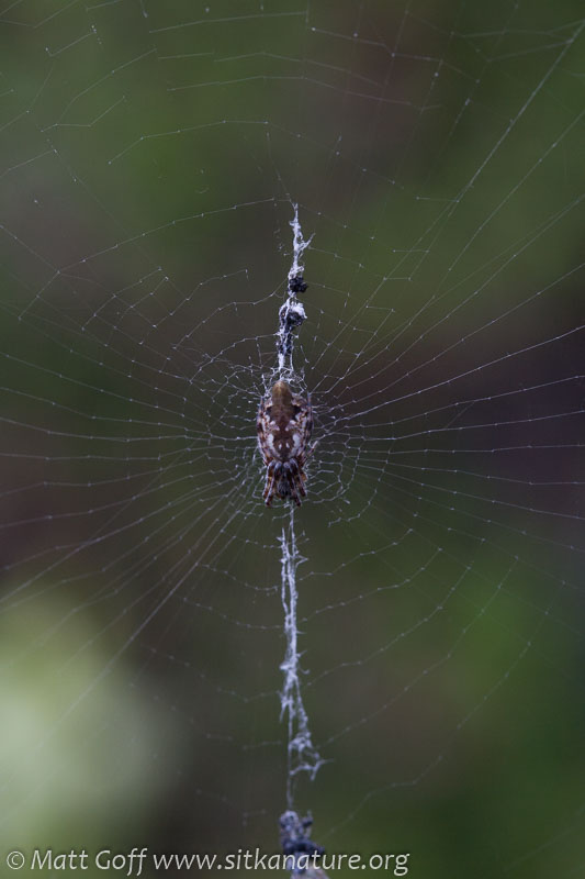 Spider (Cyclosa conica)