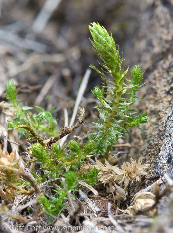 Northern Spikemoss (Selaginella selaginoides)