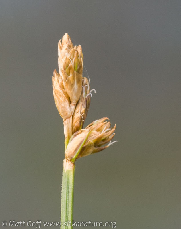 Unidentified Sedge