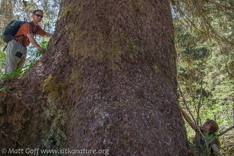 Measuring Spruce