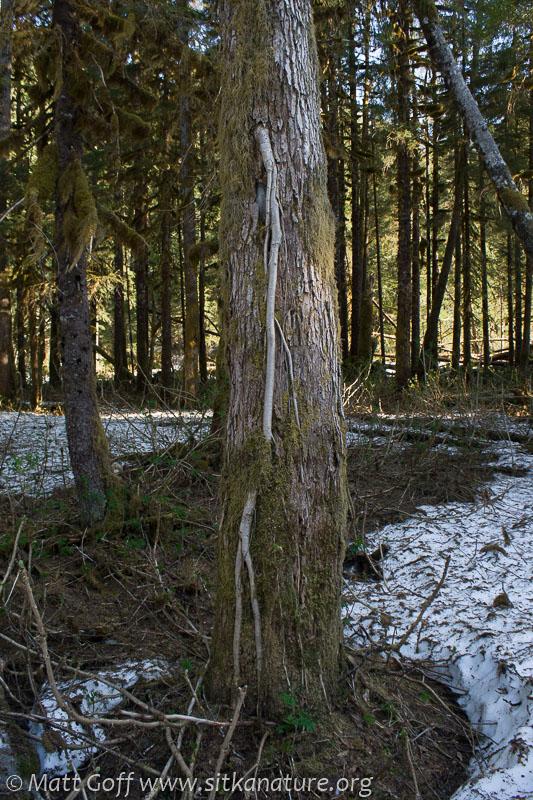 Cottonwood (Populus trichocarpa)