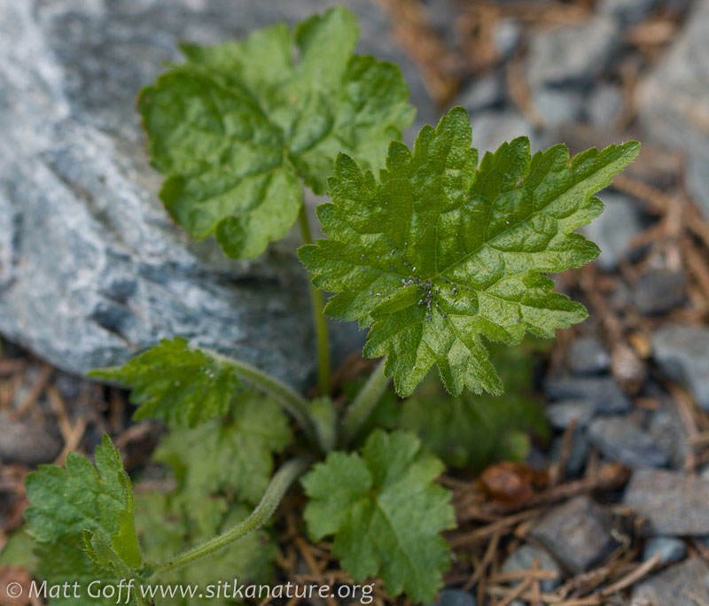 Fringecup (Tellima grandiflora)