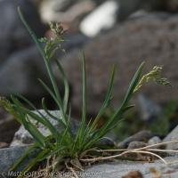 Unidentified Grass