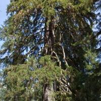 Large Spruce Tree