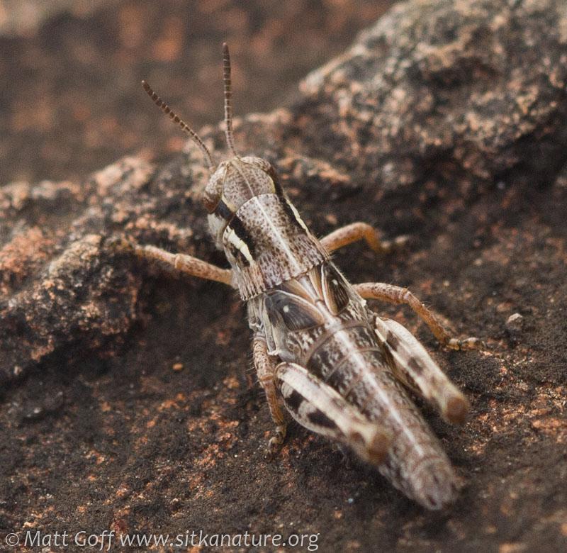 Grasshopper (Melanoplus sp)