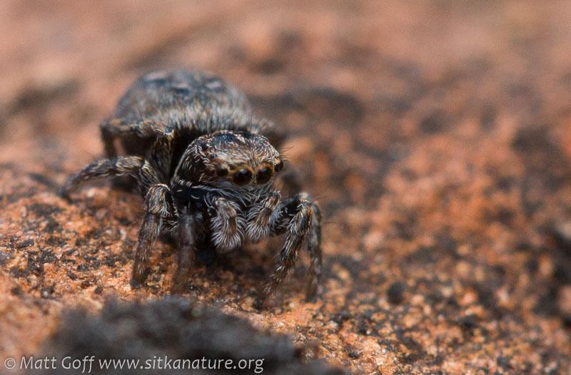 Jumping Spider (Sitticus sp)