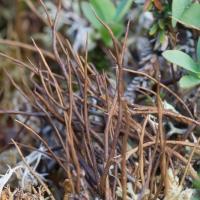 Brown Lichen