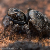Jumping Spider (Sitticus sp)