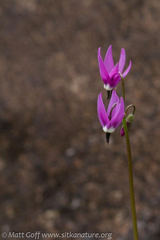 Mountain Shooting Star (Dodecatheon jeffreyi)