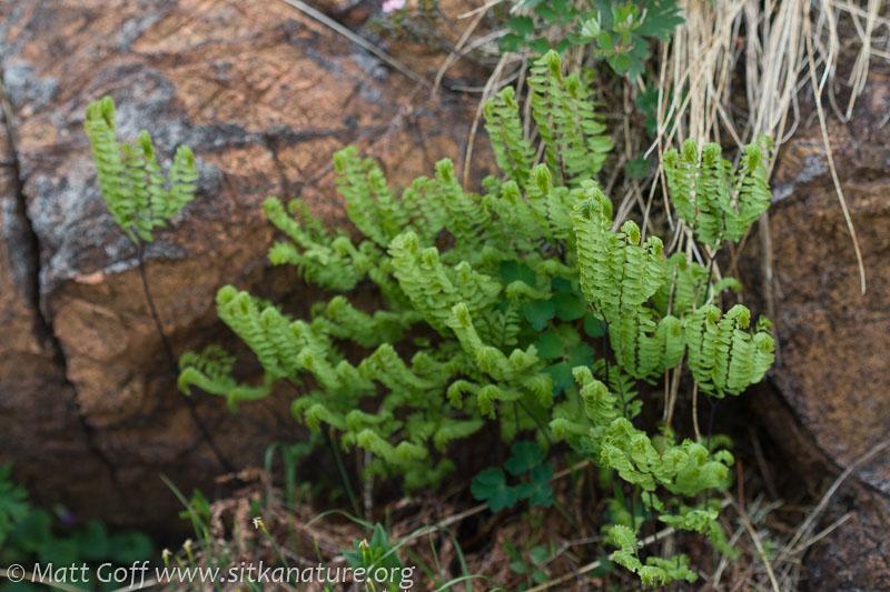 Maidenhair Fern (Adiantum aleuticum)