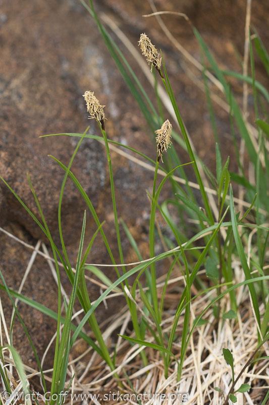 Bulrush Sedge (Carex scirpoidea)