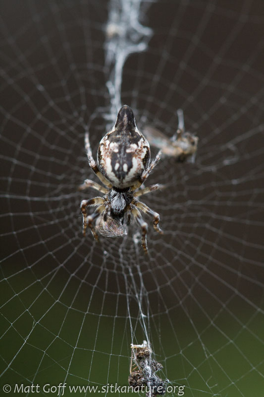 Orb Weaver (Cyclosa conica)