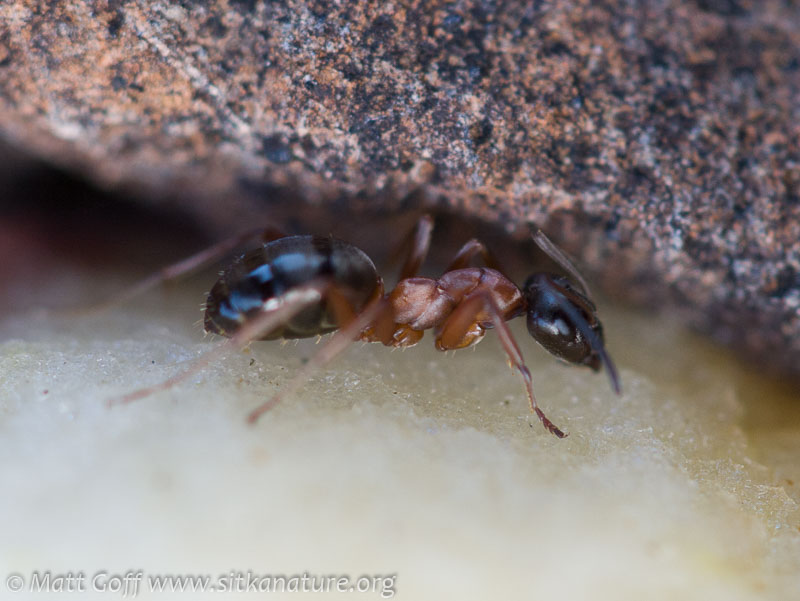 Field Ant (Forrmica sp)