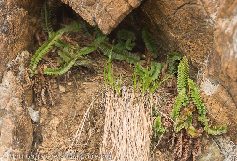 Kruckeberg's Holly Fern (Polystichum kruckebergii)