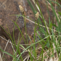 Bulrush Sedge (Carex scirpoidea)