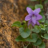 Alaska Violet (Viola langsdorfii)