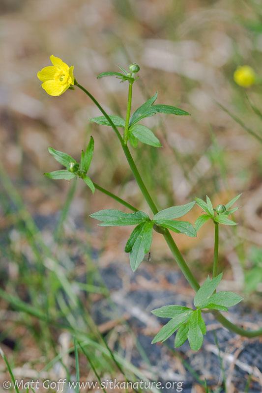 Western Buttercup (Ranunculus occidentalis)