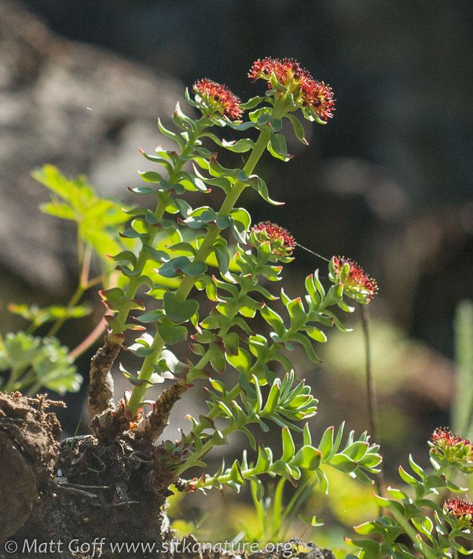 Roseroot (Rhodiola integrifolia)