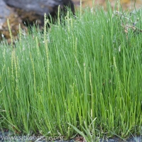 Seaside Arrowgrass (Triglochin maritima)