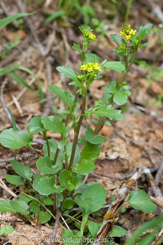 Yellowrocket (Barbarea orthoceras)