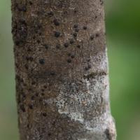 Japewia tornoensis
