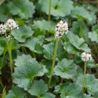 Heartleaf Saxifrage (Micranthes nelsoniana)