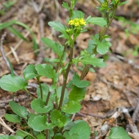 Yellowrocket (Barbarea orthoceras)