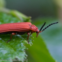 Red Netwinged Beetle (Punicealis hamata)