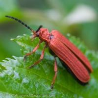Red Netwinged Beetle (Punicealis hamata)