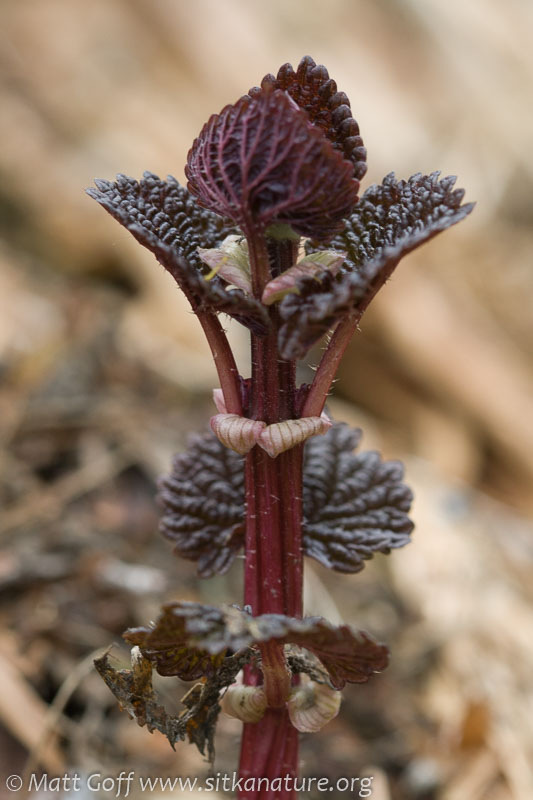Nettles Sprouts (Urtica dioica)