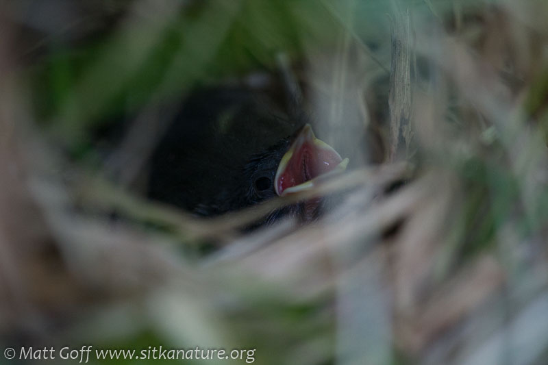 Lincoln's Sparrow Nestling