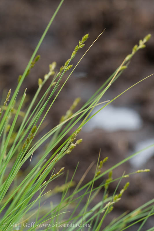 Silvery Sedge (Carex canescens)