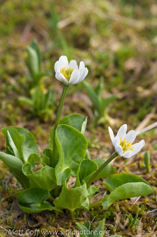 Mountain Marsh-marigold (Caltha leptosepala)