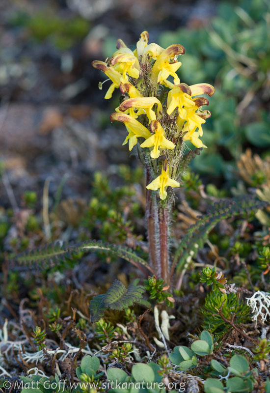 Oeder's Lousewort (Pedicularis oederi)