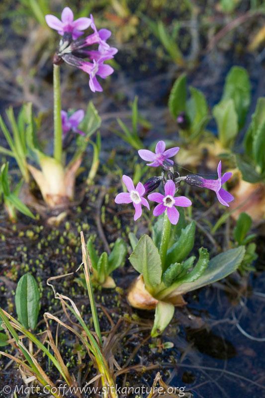 Arctic Primrose  (Primula eximia)