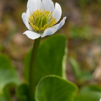 Mountain Marsh-marigold (Caltha leptosepala)