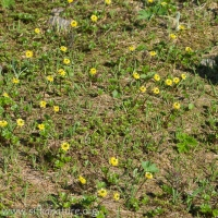 Cooley's  Buttercup (Ranunculus cooleyae)