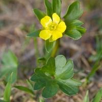 Subalpine Buttercup (Ranunculus  eschscholtzii)
