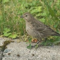 Immature Brown-headed Cowbird