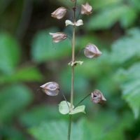 Monkeyflower (Mimulus guttatus) Seed Pods