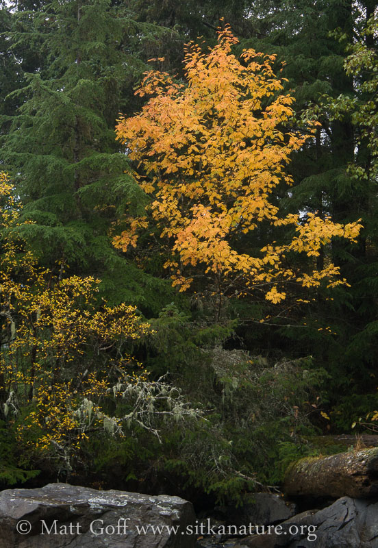 Mountain Ash Fall Color