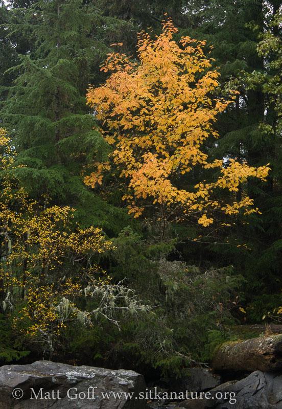 Mountain Ash Fall Color