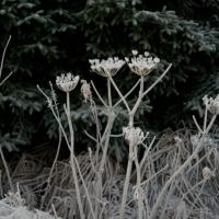 Frosted Vegetation