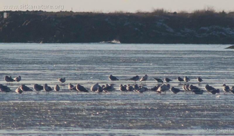Gulls on Ice