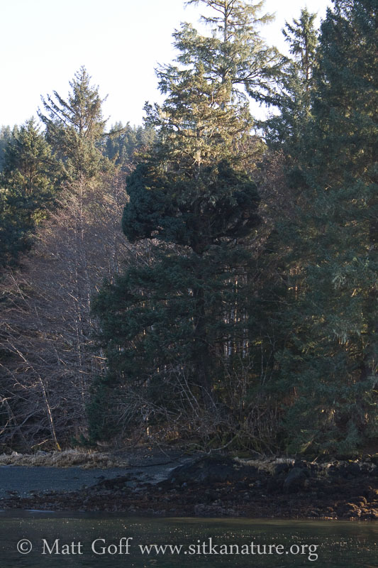 Odd Spruce Tree Growth