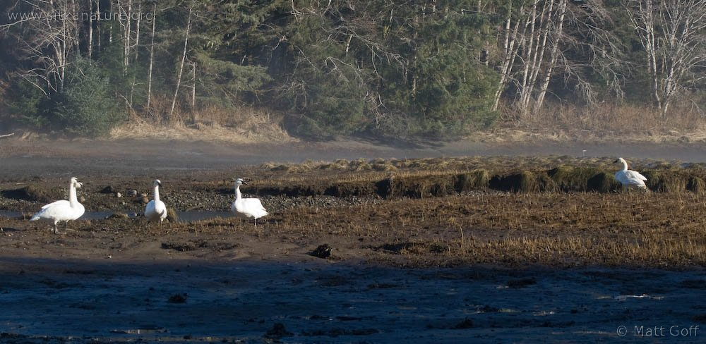 Trumpeter and Tundra Swans